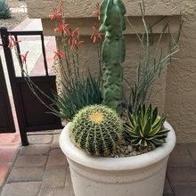 succulent alternates