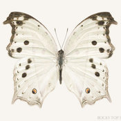 White Butterfly Print by Rocky Top Studio