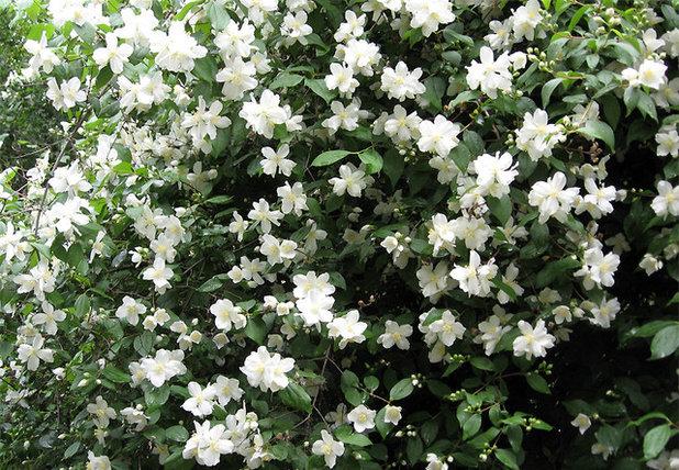 9 deer resistant flowering shrubs to plant this fall for Large flowering shrubs