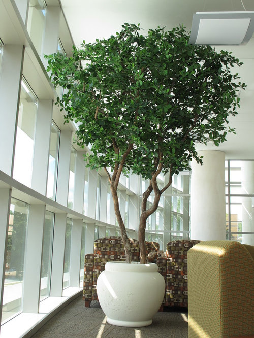 Indoor replica olive trees for Growing olive tree indoors