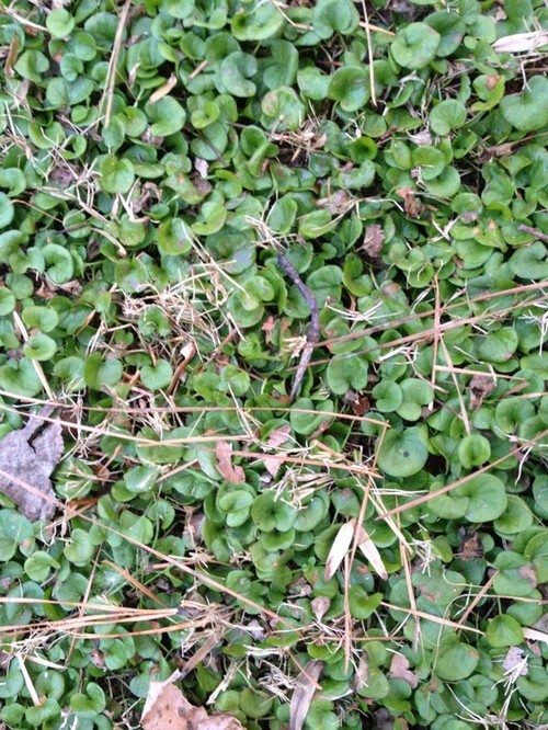 how to get rid of clover weeds in my lawn
