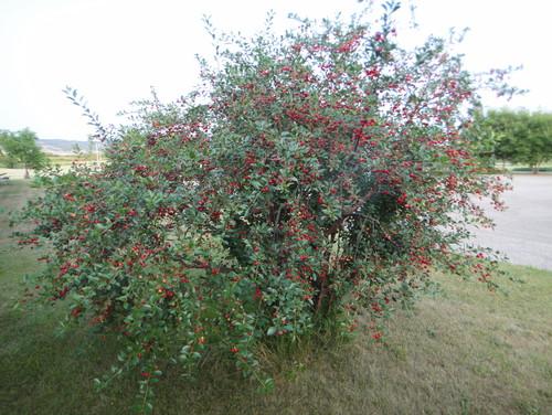 Carmine jewel cherry tree for Cj evans home designs