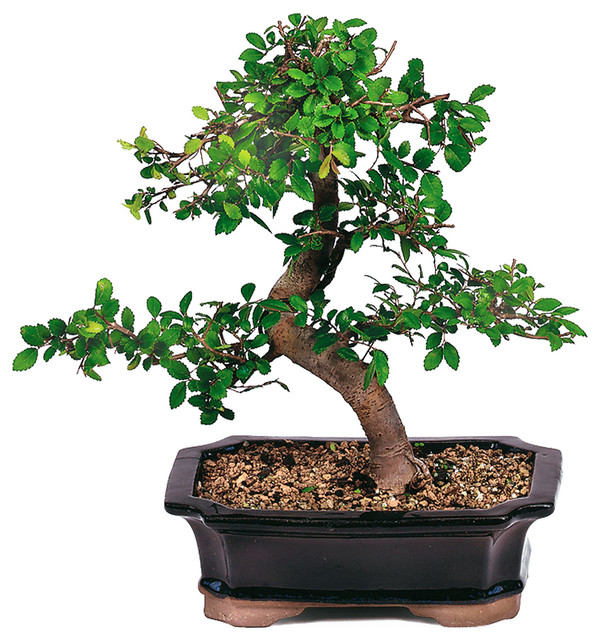 Chinese Elm Bonsai Tree Asian Plants By Brussels