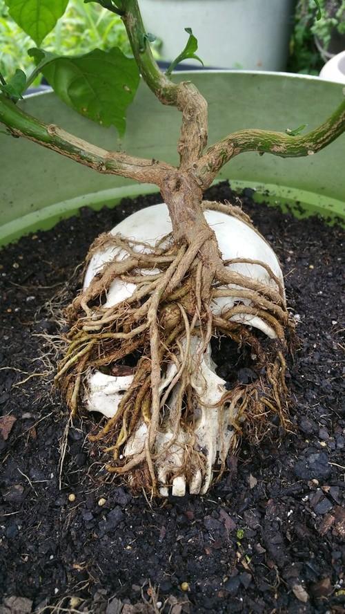 carolina reaper seeds how to grow