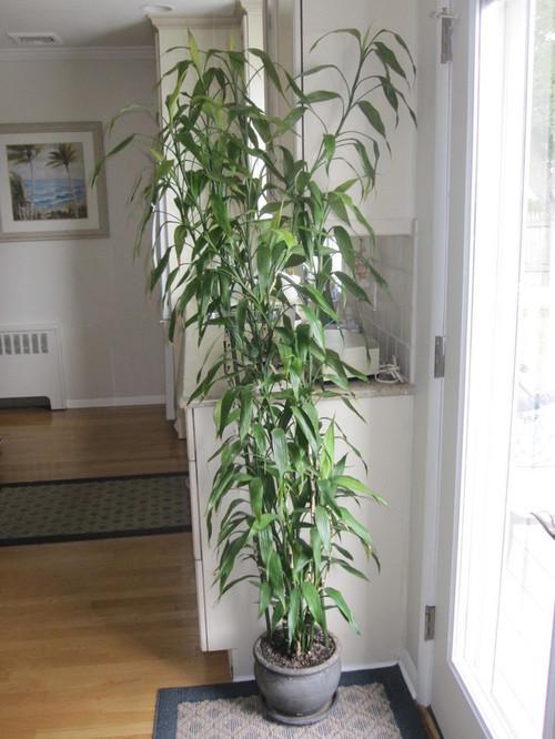 Lucky Bamboo Dracaena Sanderiana Starting To Turn Yellow
