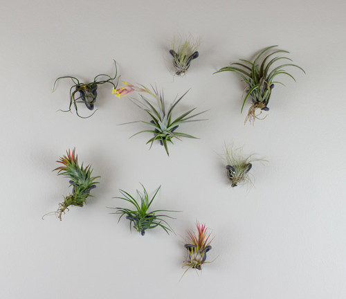 Airplant Nest