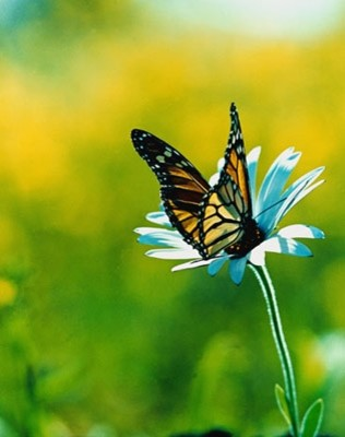 Monarch butterfly on daisy photo wall mural contemporary for Butterfly mural wallpaper