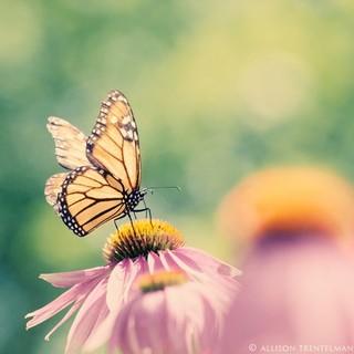 Monarch Butterfly Art Print By Naturemandalas