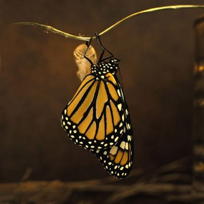 Monarch butterfly photo wall mural contemporary for Butterfly mural wallpaper