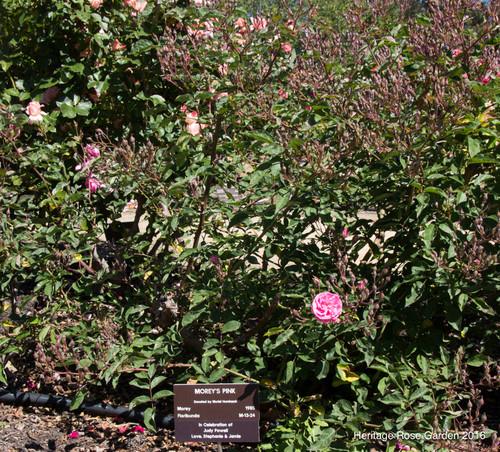 san jose heritage rose garden part 4 4527070314 4e2e150985 z jpg
