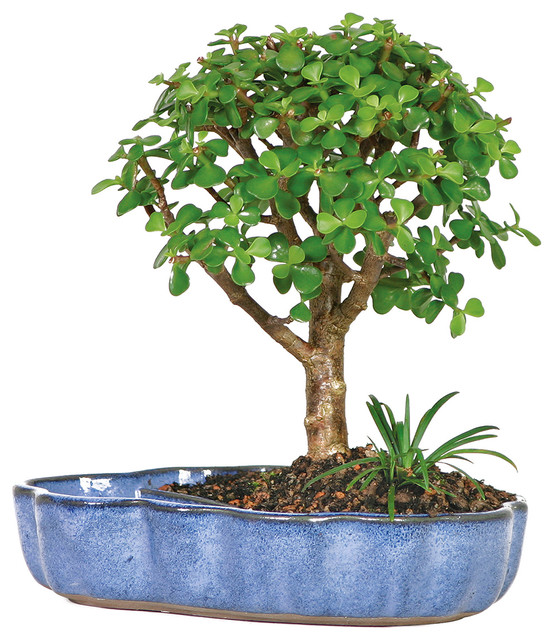 Dwarf jade in water pot bonsai tree asian plants by for Indoor decorative live plants