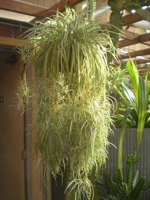 This is an example big Spider Plant but this plant is small if we will ... Green Garden Spider