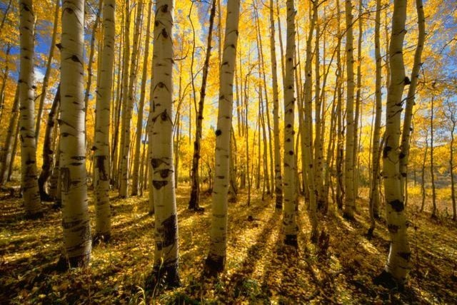 Aspen trees in autumn wall mural 42 inches w x 28 inches for Aspen wall mural