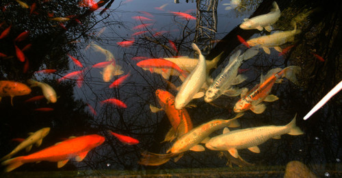 Can 39 t clear up pond water have tried everything for Can you eat koi fish