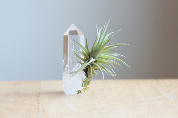 Air plant tillandsia on quartz crystal point by falcon and for Air plant decoration