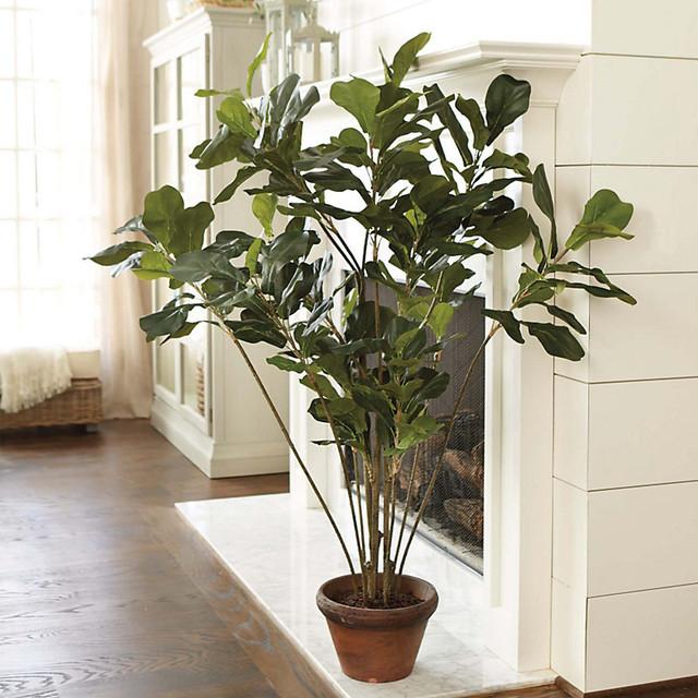 Fiddle Leaf Tree Traditional Plants