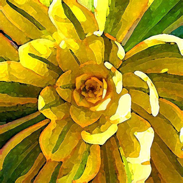 sunburst succulent square