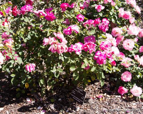 San Jose Heritage Rose Garden Part 4