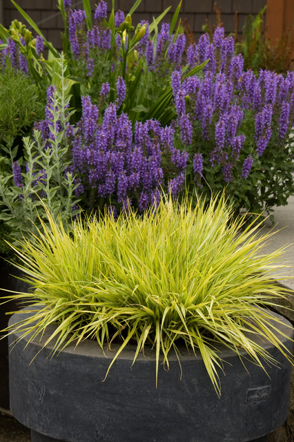 Variegated moor grass contemporary plants by monrovia for Variegated grass plant