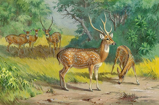 Axis deer wallpaper wall mural self adhesive multiple for Deer mural wallpaper