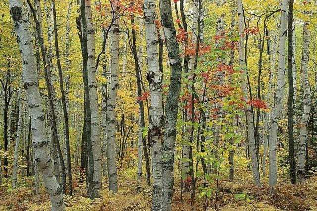 Autumn birch forest wallpaper wall mural self adhesive for Autumn forest wallpaper mural
