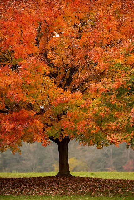 Tree in fall at woodlawn wallpaper wall mural self for Autumn tree mural