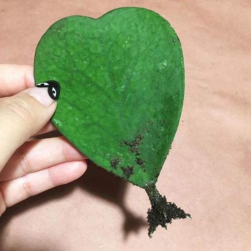 Rooted Hoya Kerrii Single Leaf