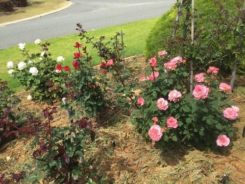 rose bush shots from this spring. Black Bedroom Furniture Sets. Home Design Ideas