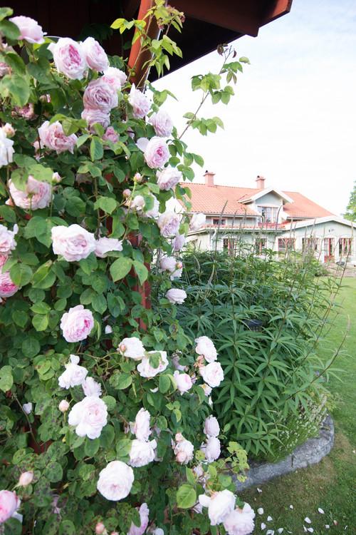 Rosor Roses Rose