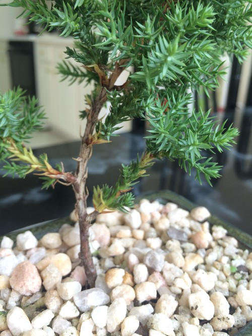 Please help me id my new bonsai for Help me design my garden