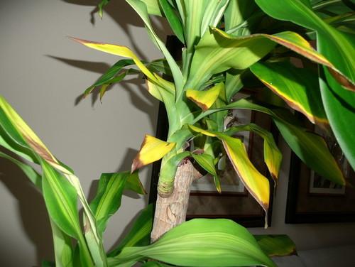 Желтеют листья у драцены в домашних условиях