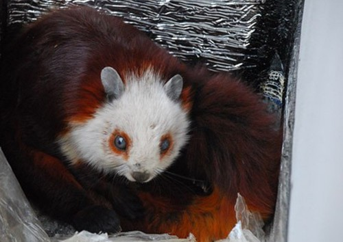 Chinese giant flying squirrel - photo#21