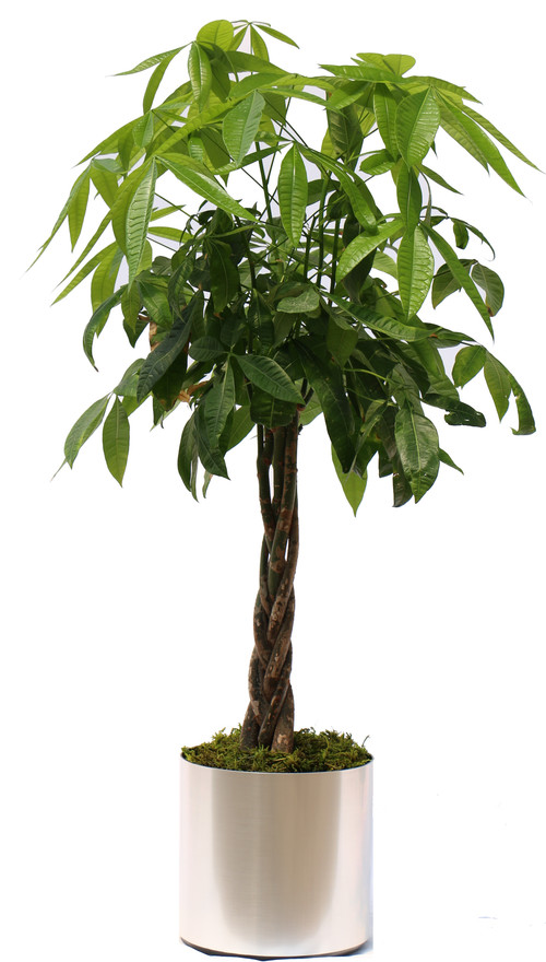 Money Tree Plant, Basic Package