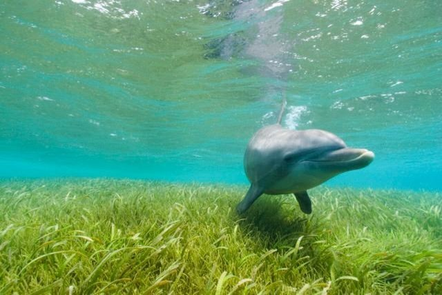 Bottlenose dolphin wall mural 18 inches w x 12 inches h for Dolphins paradise wall mural