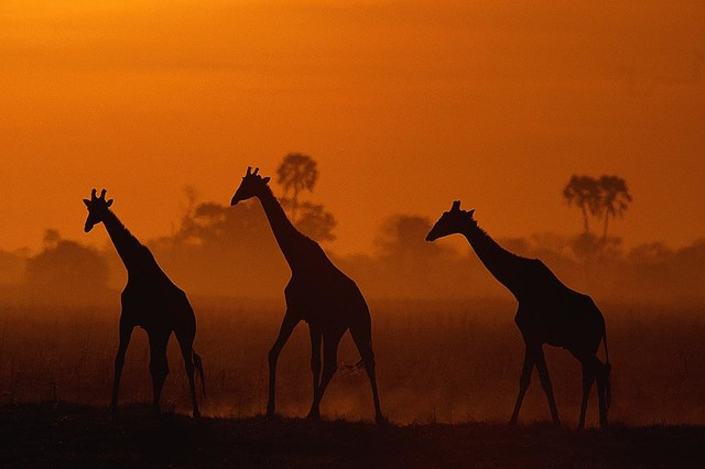 Three african giraffes at sunset wallpaper wall mural for African sunset wall mural