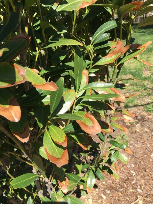 Skip Cherry Laurel Leaves Brown And Brittle