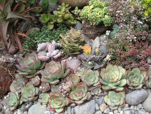 Some Photos Of My Succulent Rock Garden