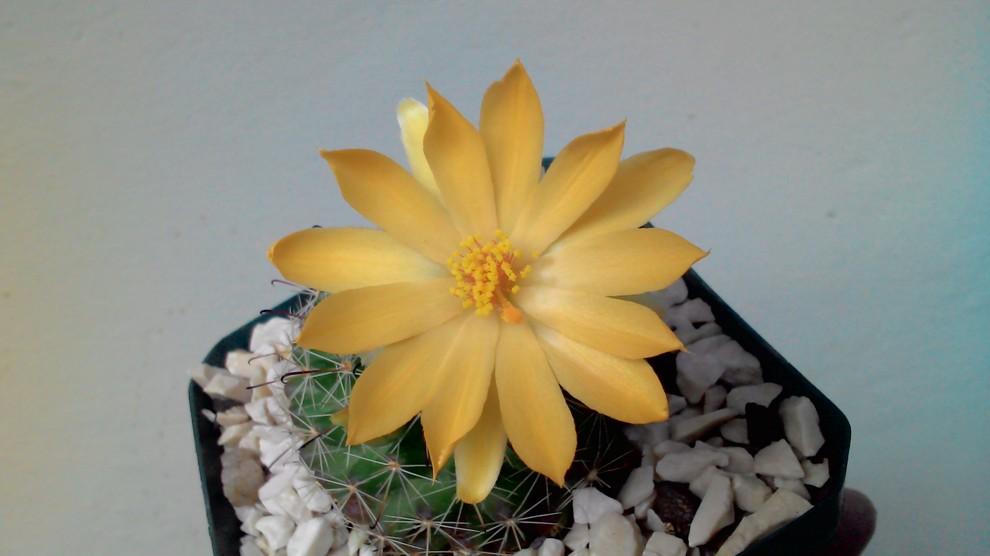 ID. Mammillaria, please Home-design