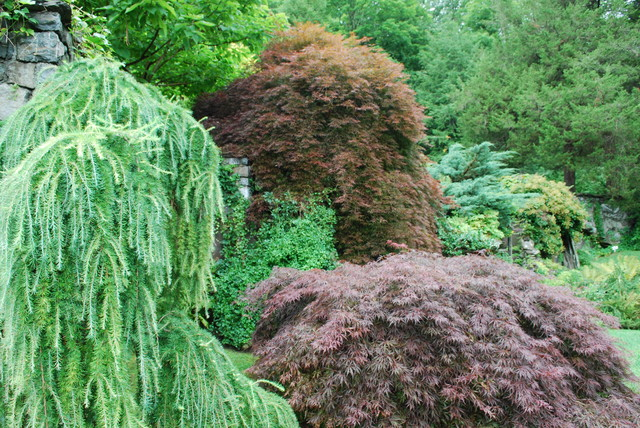 Weeping European Larch With Japanese Maples Eclectic