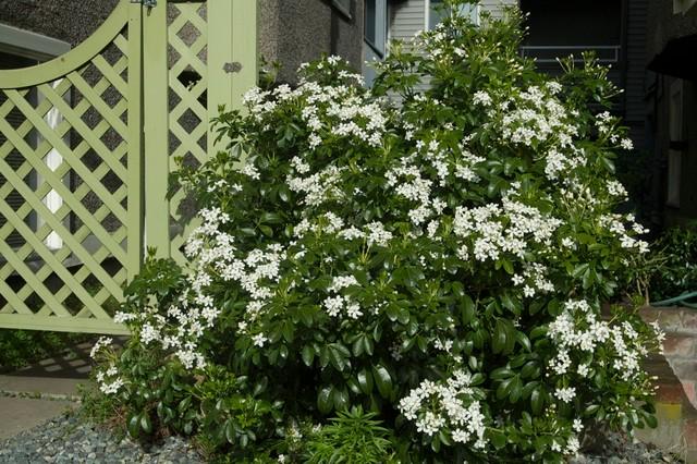 choisya ternata landscape other by cyan horticulture. Black Bedroom Furniture Sets. Home Design Ideas