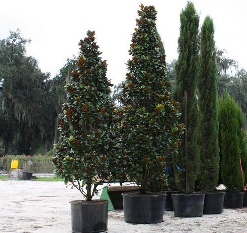 Amazoncom dwarf trees