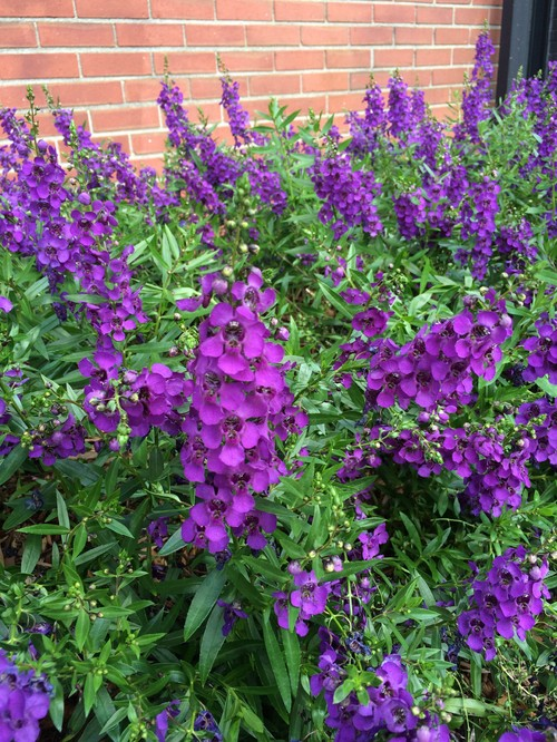 Please identify this purple flowered plant