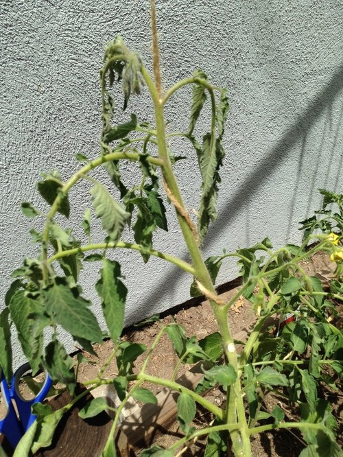 Tomato Wilting From The Top Water Wilt