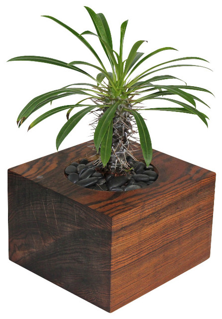 Pachypodium lamerei potted plant contemporary indoor for Indoor decorative plants