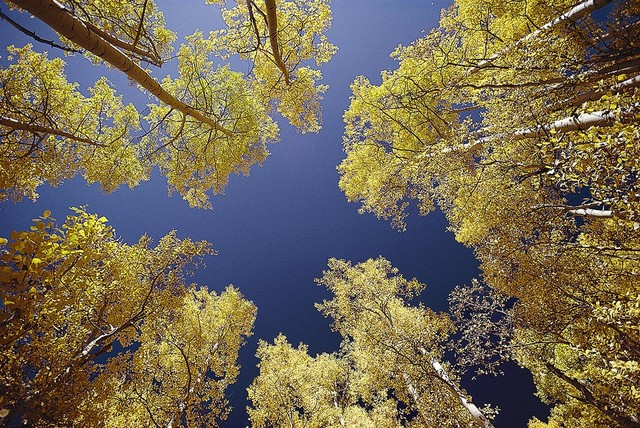 Aspen trees wallpaper wall mural self adhesive for Aspen wall mural