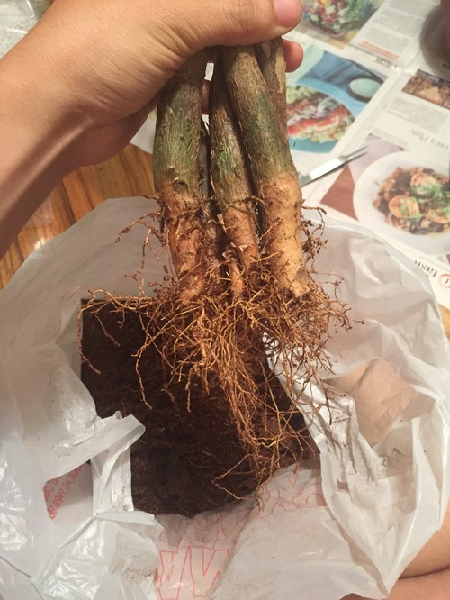 Pachira Aquatica Stecklinge : help on chopping braided pachira aquatica into bonsai ~ Lizthompson.info Haus und Dekorationen