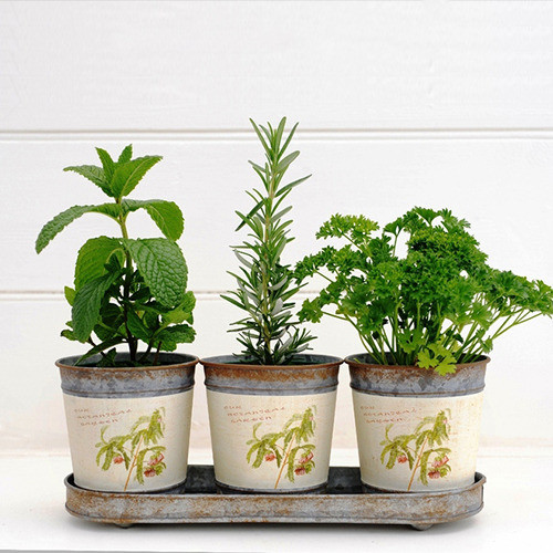 Classic herb trio in botanical design pots rustic for Indoor decorative live plants