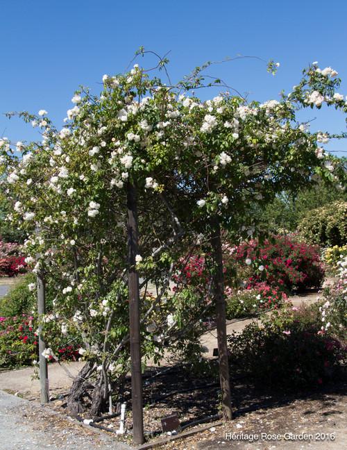 San Jose Heritage Rose Garden Part 3