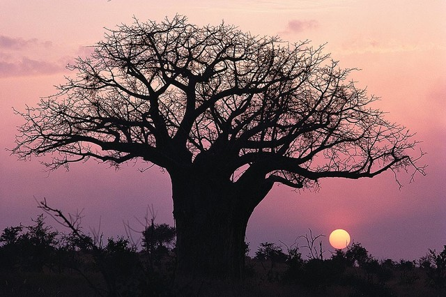 Baobab tree african sunset wallpaper wall mural self for African sunset wall mural