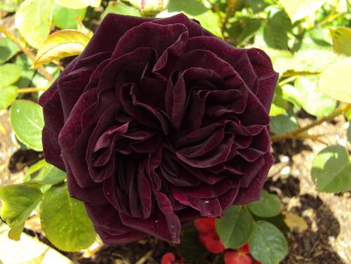 39 munstead wood 39 compare your rose. Black Bedroom Furniture Sets. Home Design Ideas